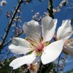 Los almendros en flor