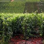 Los contrastes de los viñedos de la Montaña de Reims