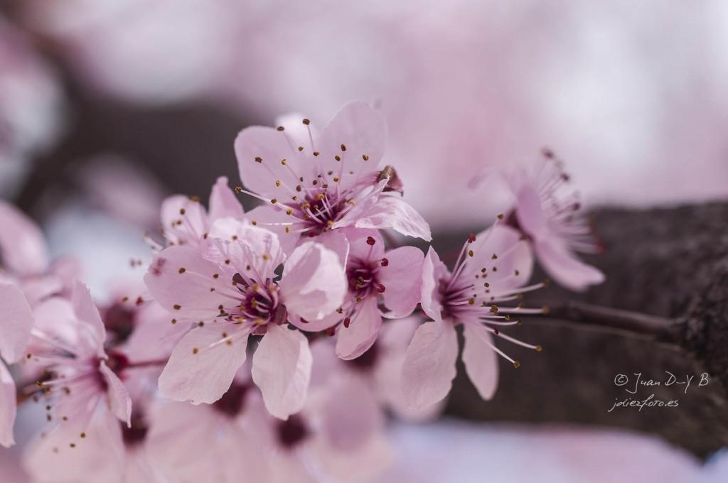 Flores de Pruno en primavera