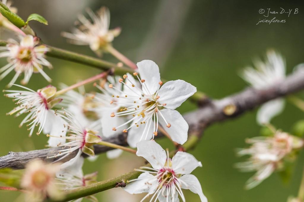 Almendro en flor en primavera