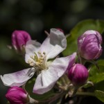 La flor del manzano
