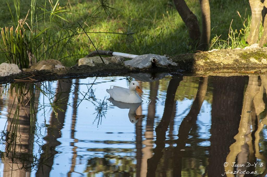 Pato solitario en el estanque secreto de la Península de la Magdalena