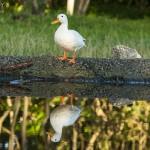 El pato solitario del estanque secreto de la Península de la Magdalena