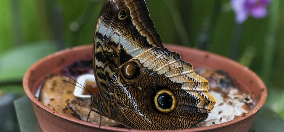 Mariposa Búho (Caligo Atreus). Zoo de Santillana del Mar