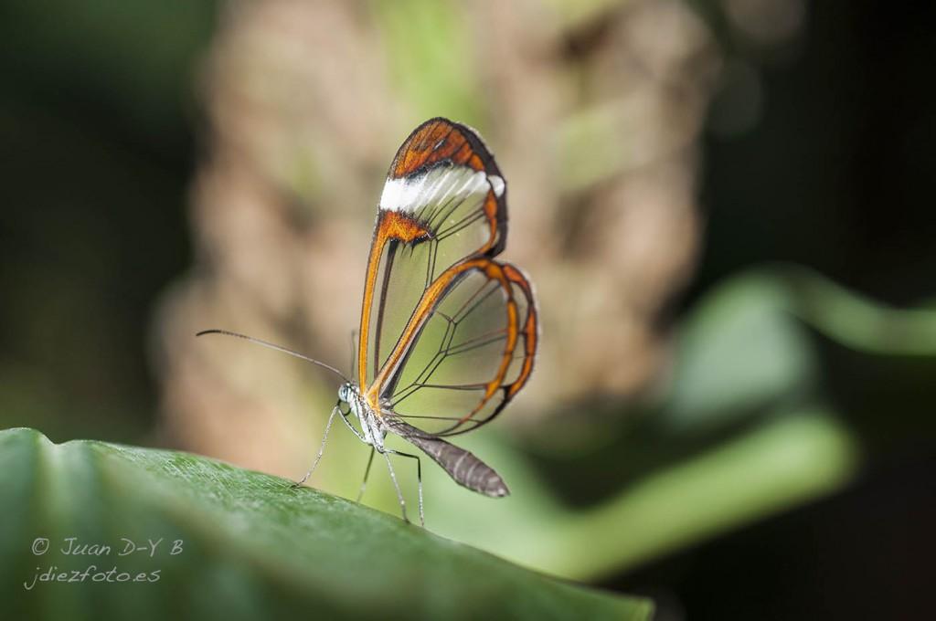 Mariposa Greta Oto Mariposario del Zoo de Santillana del Mar