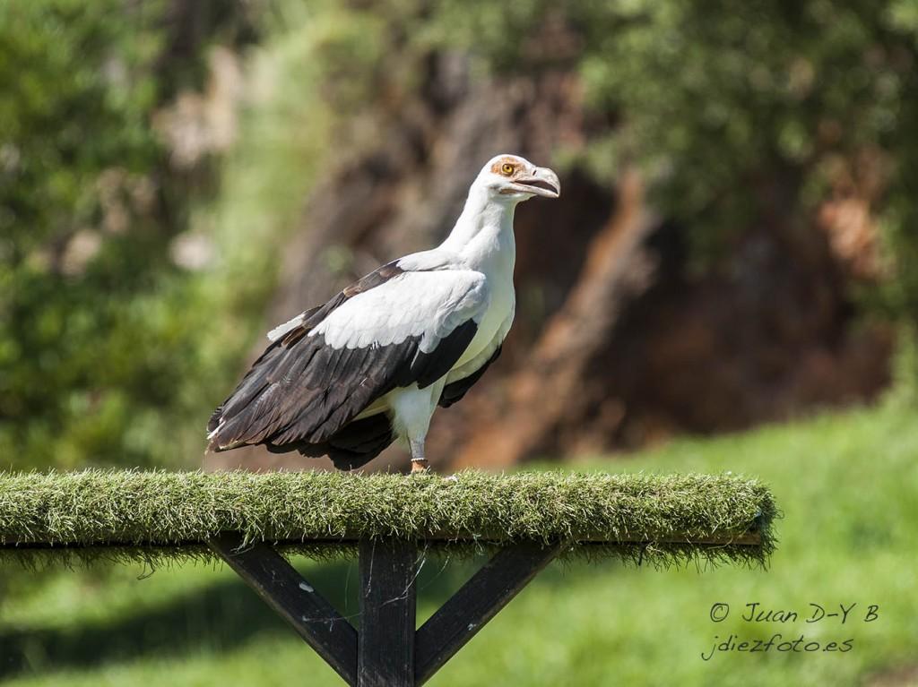 Buitre Palmero Parque de la Naturaleza de Cabárceno
