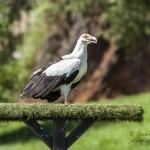 Buitre Palmero en el Parque de la Naturaleza de Cabárceno