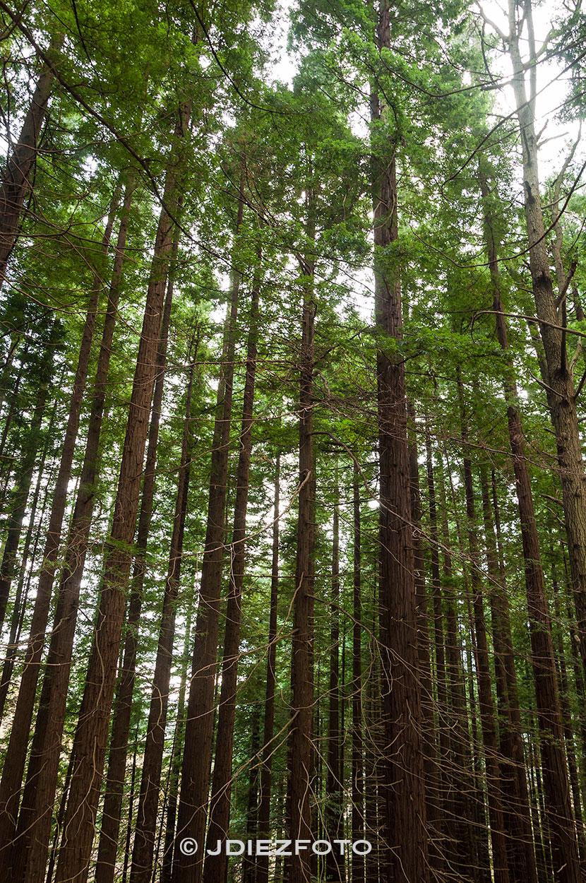 Bosque de secuoyas Monte Cabezón