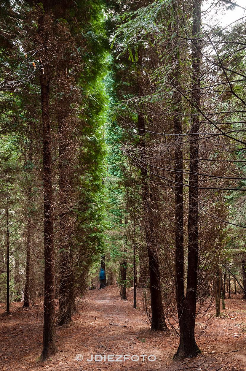 Bajada bosque de secuoyas