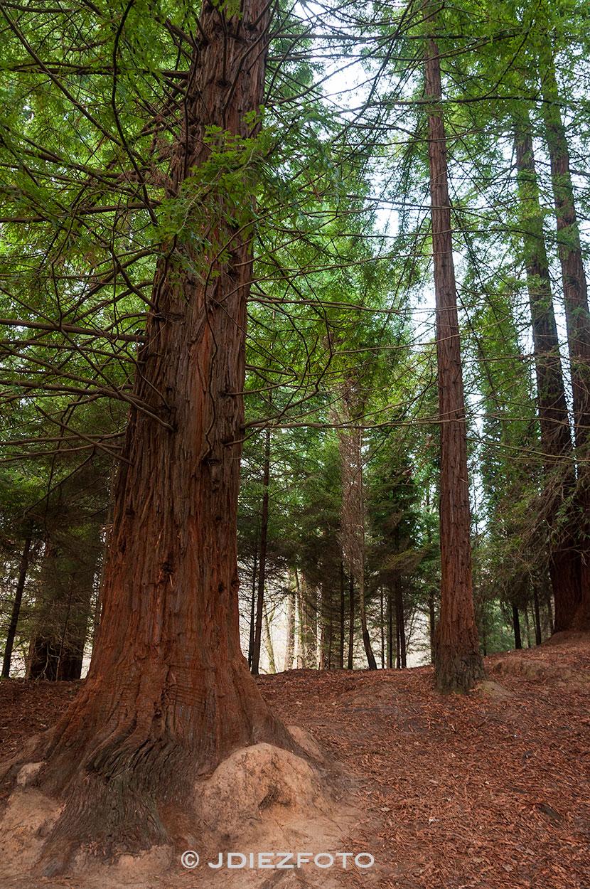 Bosque de secuoyas Cantabria