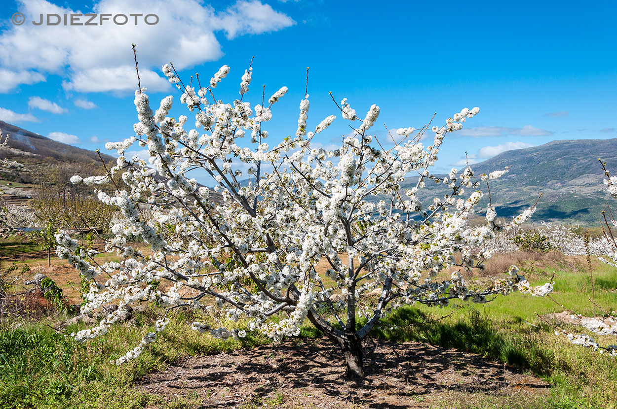 Paisajes de cerezos en el Valle del Jerte