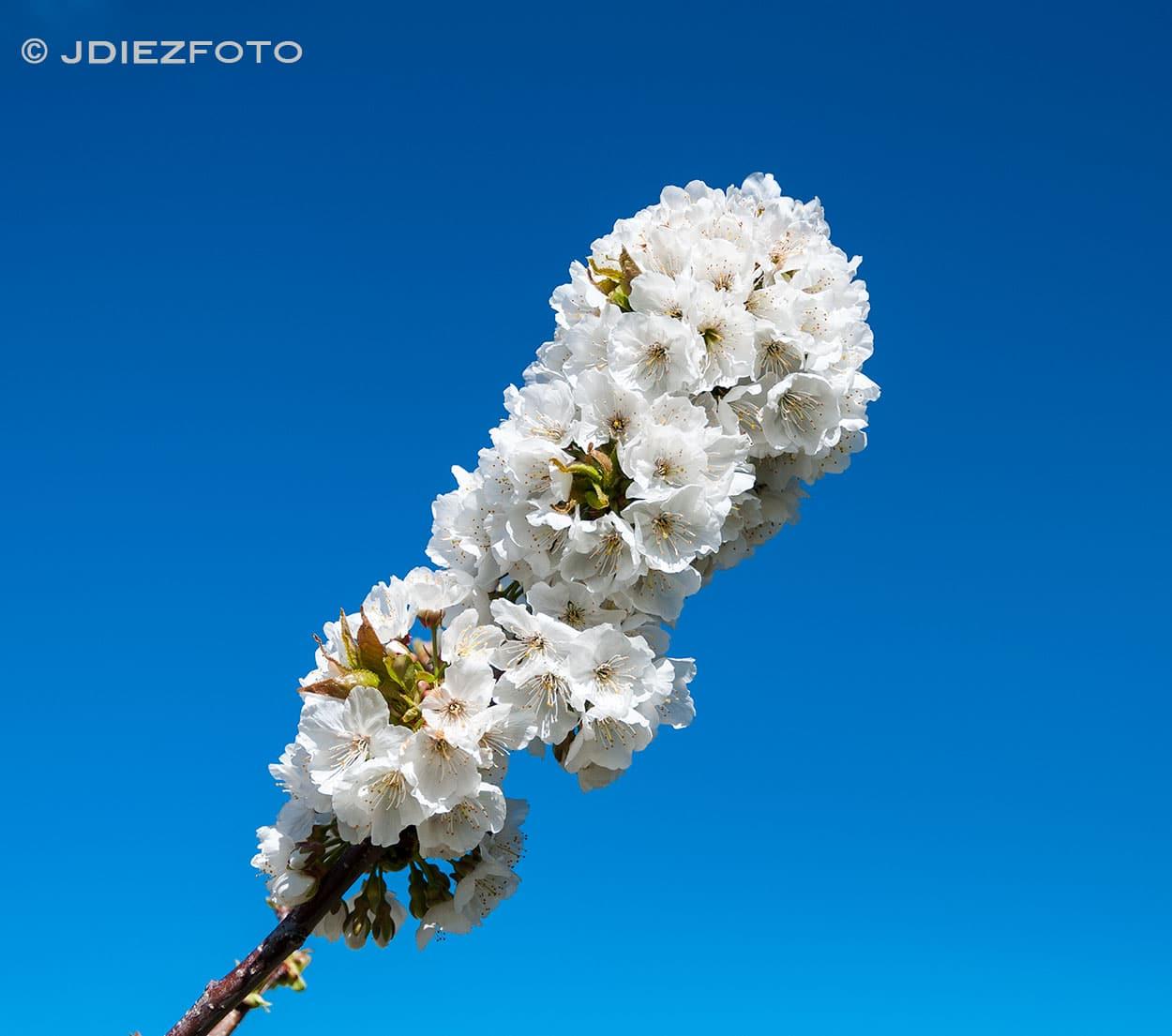 Floración de los cerezos en el Valle del Jerte