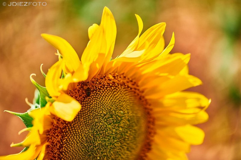 Macro flor de girasol