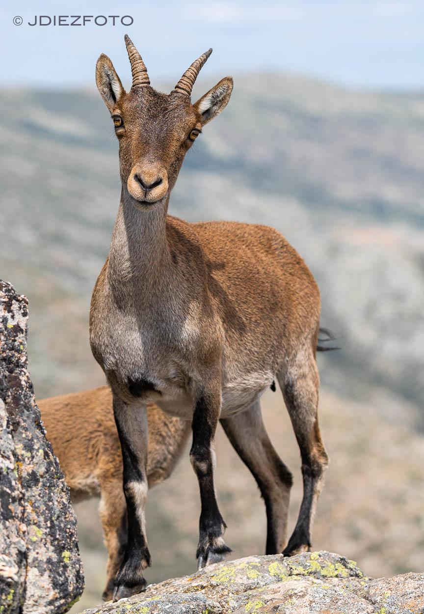 Cabras Pico de la Maliciosa