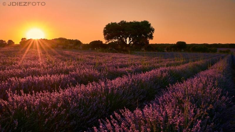 Puesta de sol Campos de Lavanda Brihuega