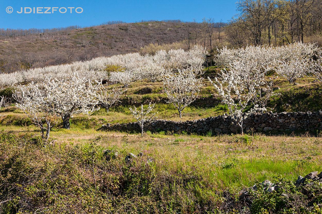 Floración de los cerezos Valle del Jerte