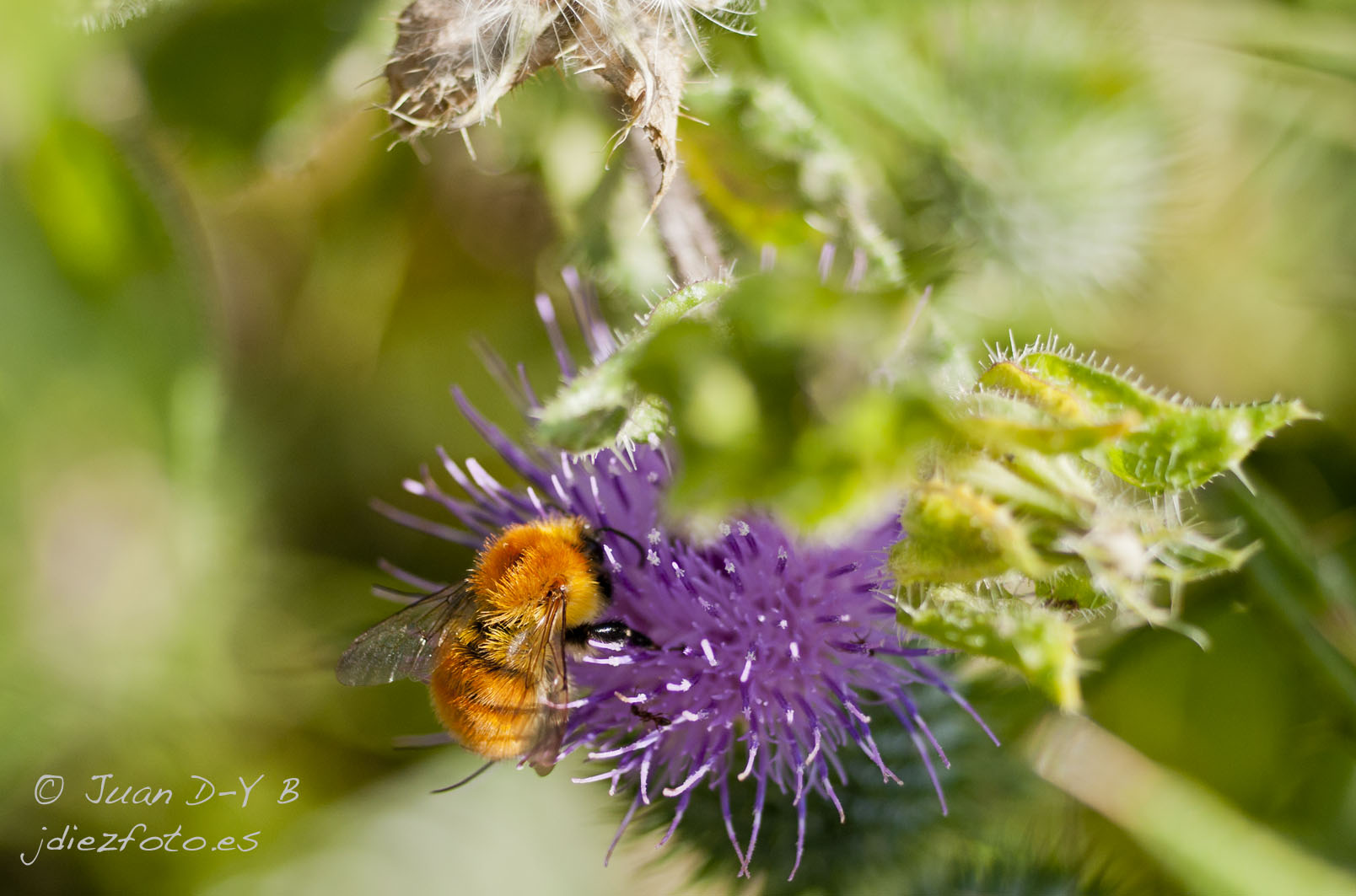Cardos Blancos con abeja