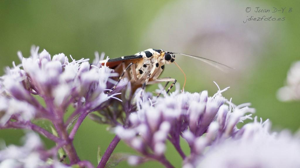 Callimorpha quadripunctaria-Mariposa Tigre