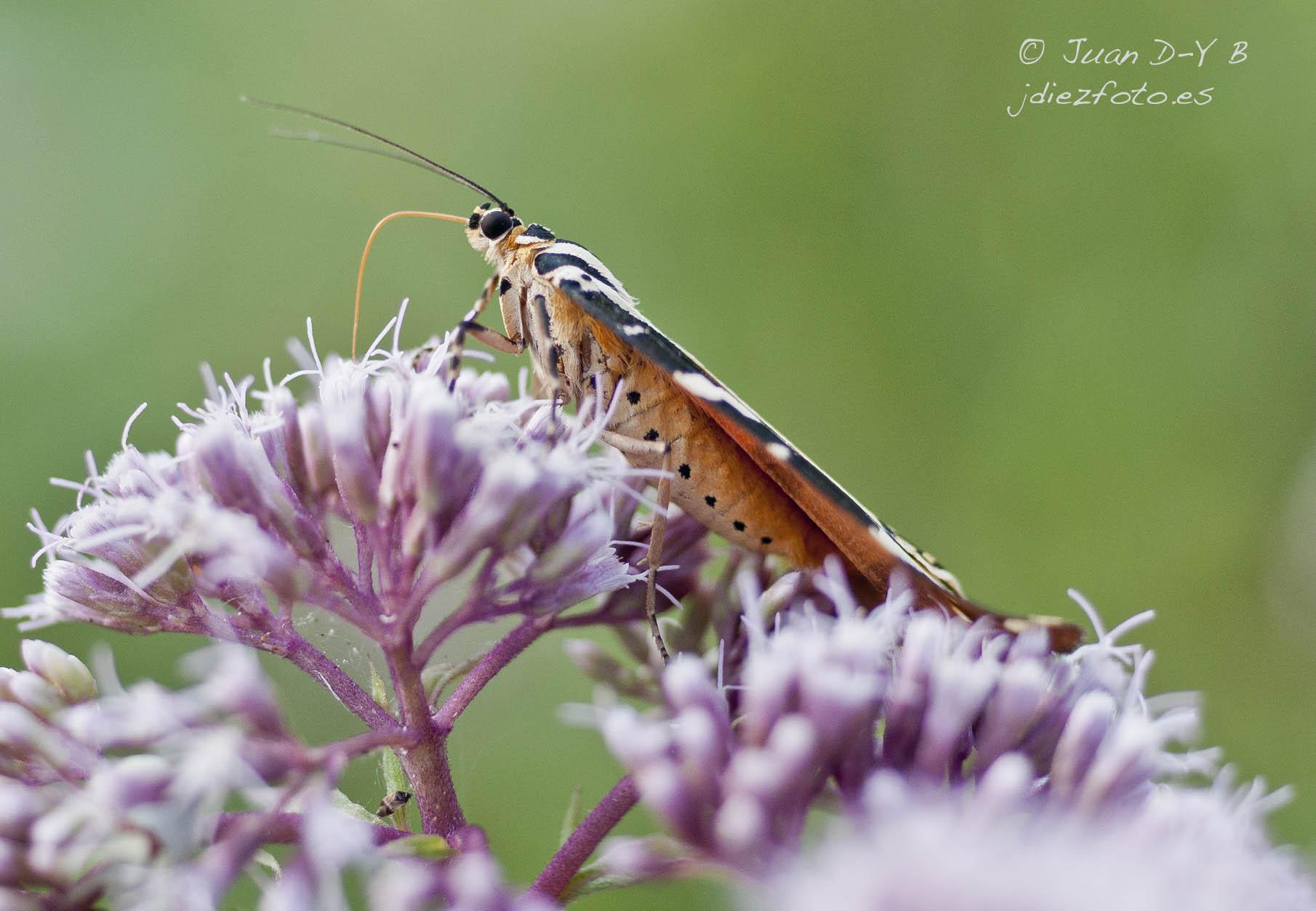 Mariposa Tigre en la subida a Peñacastillo