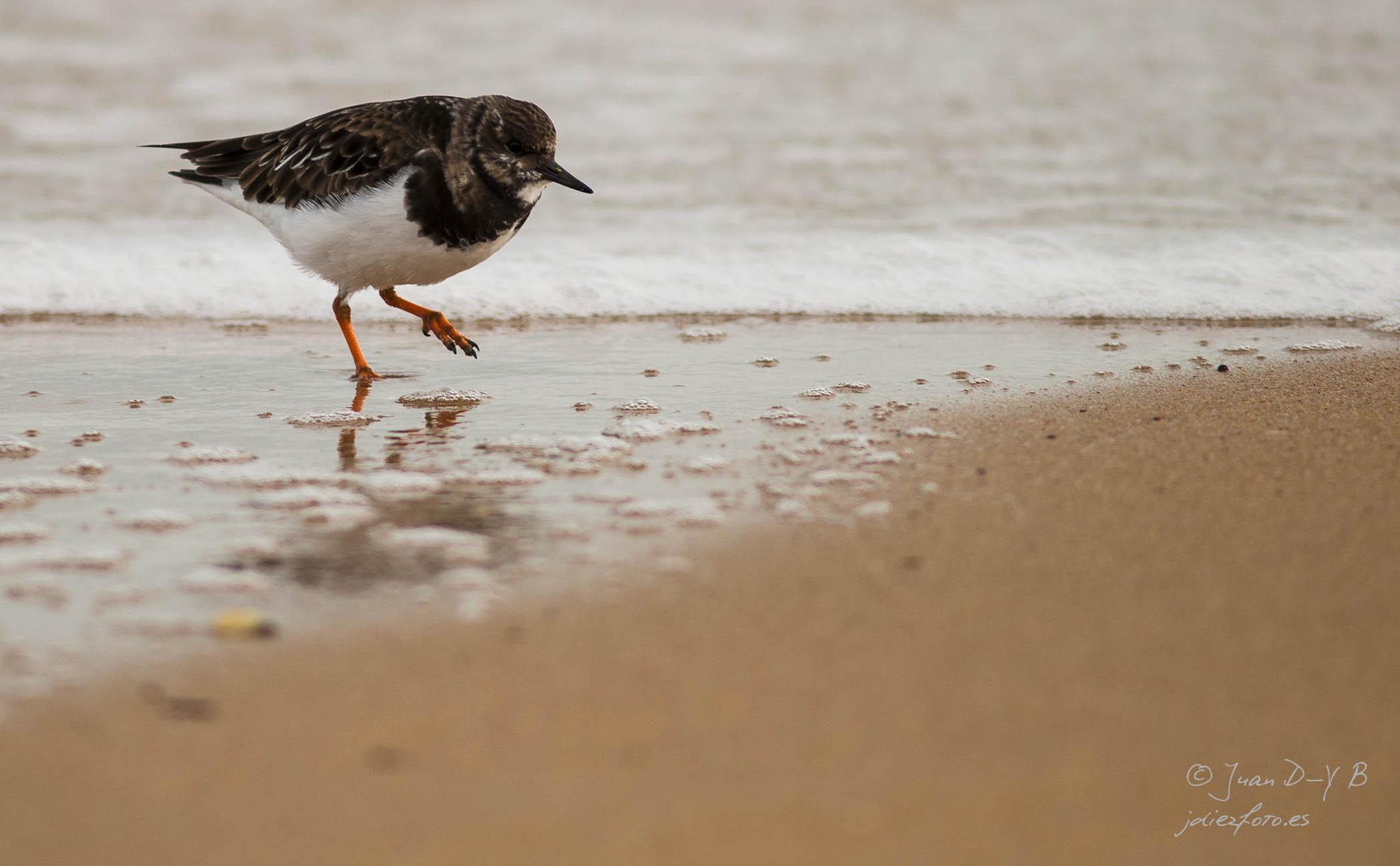 Vuelvepiedras correteando por la orilla de la Playa del Camello