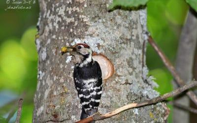 Pájaro Carpintero alimentando a sus crías