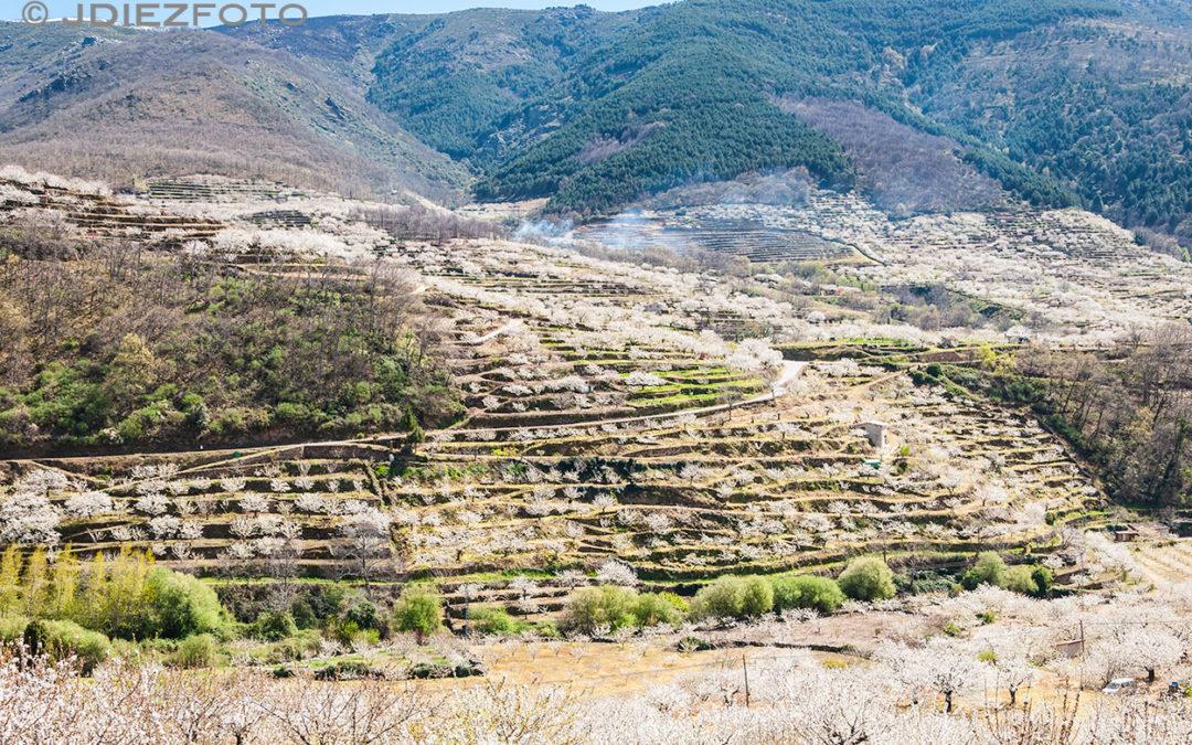 Terrazas de cerezos en el Valle del Jerte