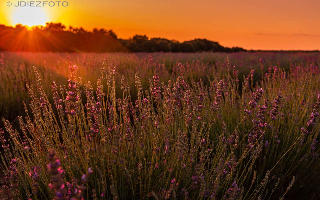 Puesta de sol entre los campos de lavanda de Brihuega