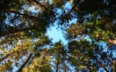 Caminando entre los abetos del Bosc del Gerdar
